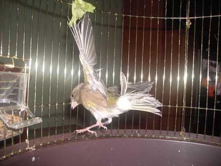 muda en aves y fringilidos