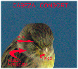 defectos cabeza gloster consort